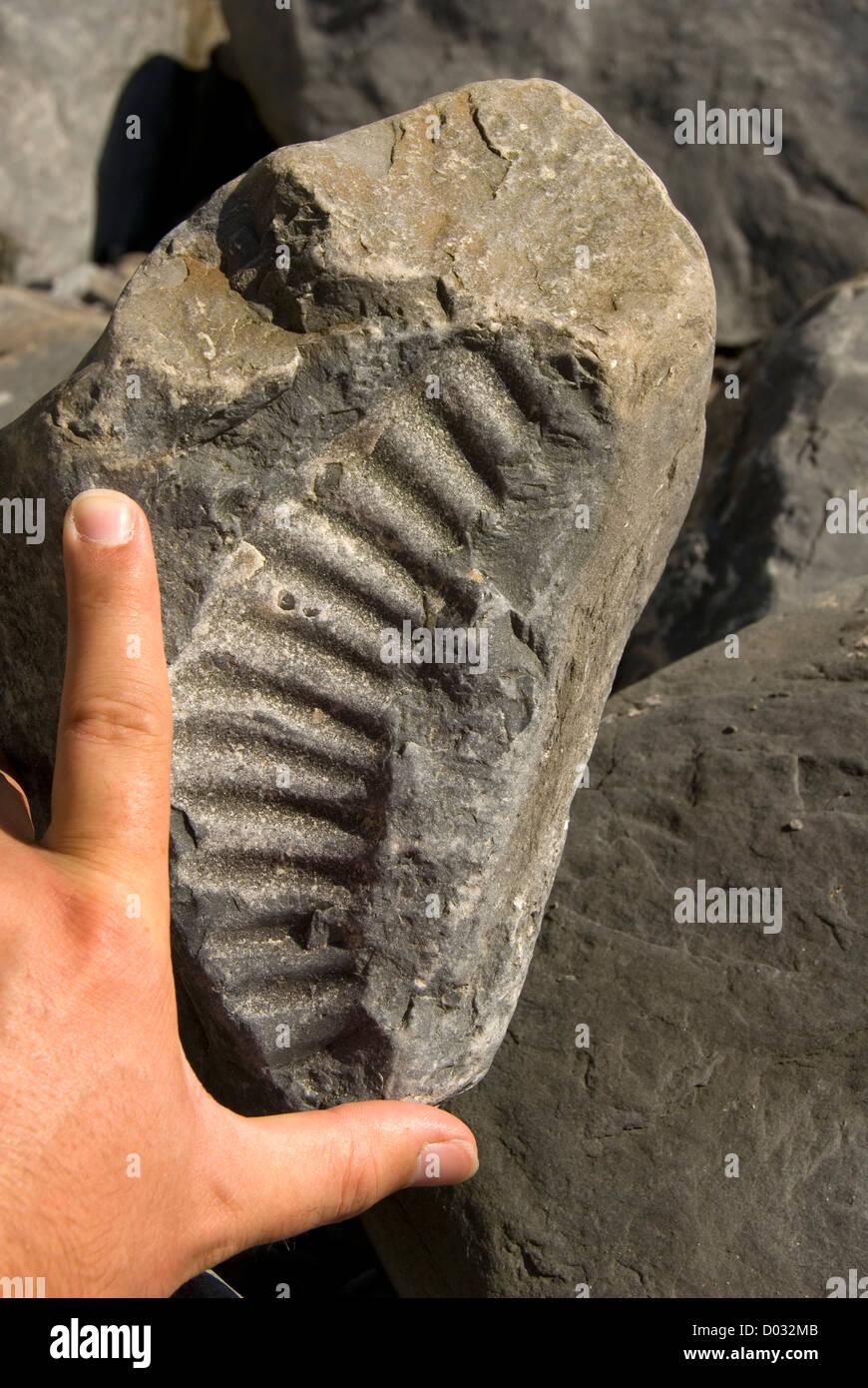 Combustibles fossiles d'Ammonites à plage, part pour donner une idée de l'échelle, Nash Point, Photo Stock