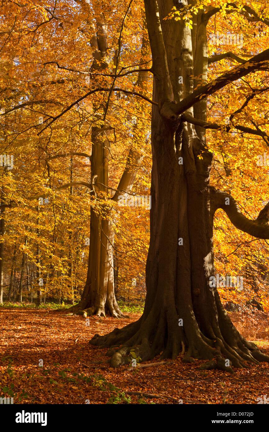 Les arbres d'automne dans la région de Clumber Park, Nottingham, Nottinghamshire, Angleterre, Royaume-Uni, Photo Stock