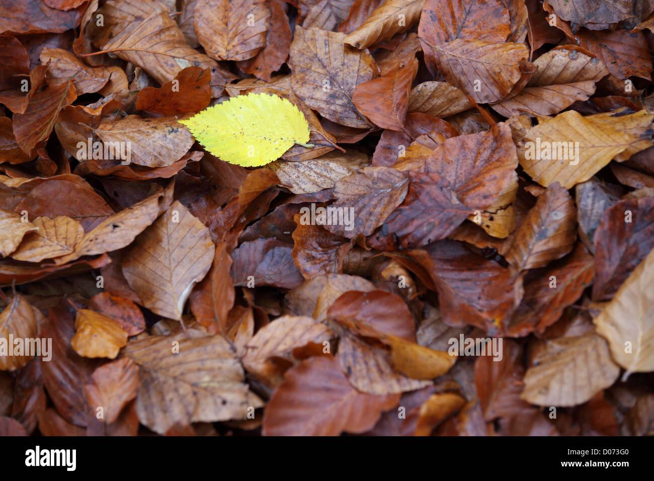 Les feuilles d'automne, et la rouille jaune contrastante, Suffolk, Paysage, UK Photo Stock