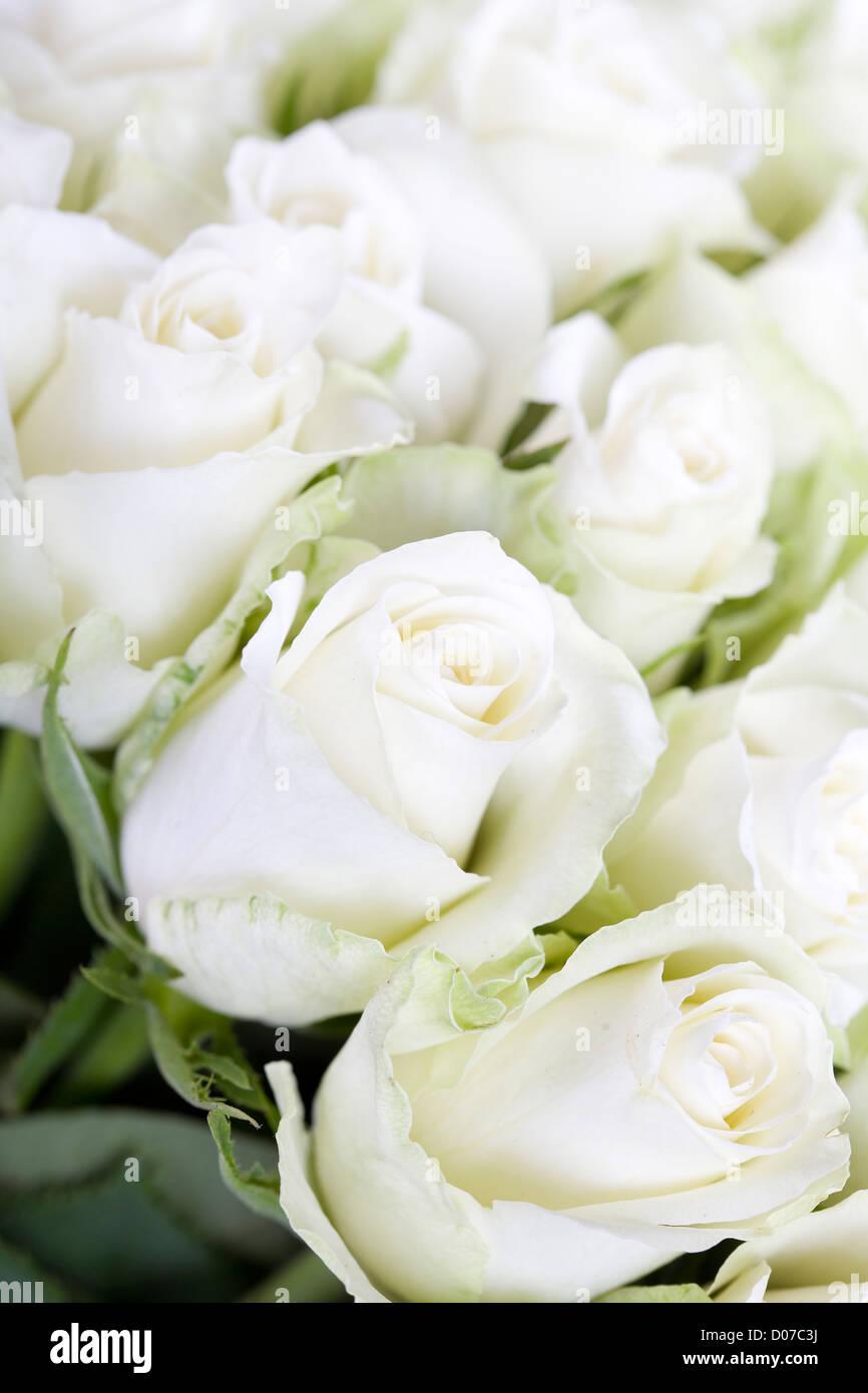 Roses blanches avec l'arrière-plan flou Photo Stock