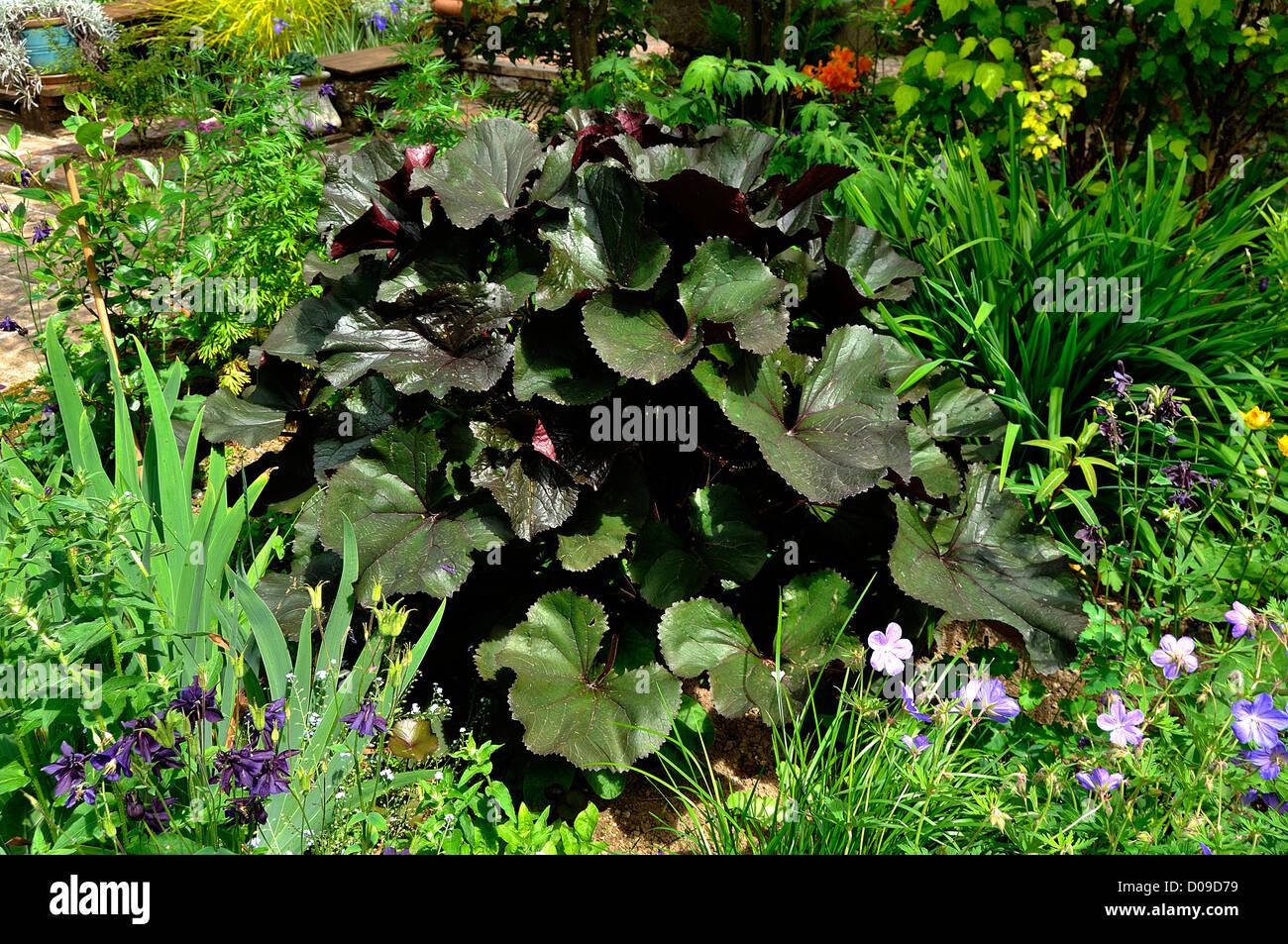 Ligulaire cordata, luxuriante vivace pour les étangs (origine: Asie de l'Est), au début de juin. Photo Stock