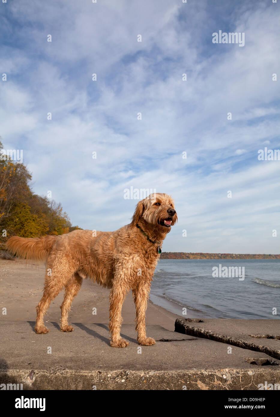 Un golden-doodle est alertly sur un quai à une plage du lac Michigan. Photo Stock
