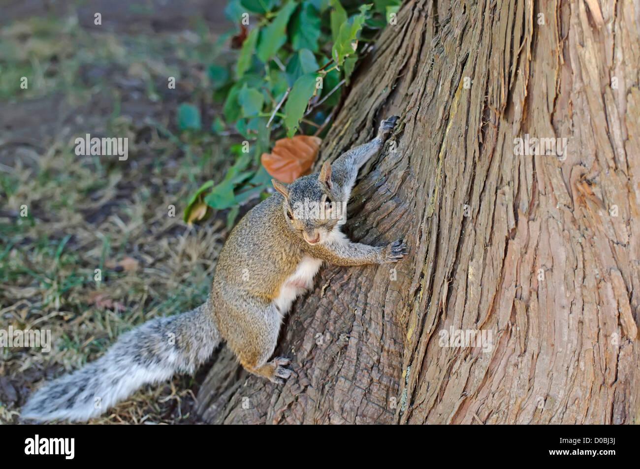 Curieux mignon écureuil gris Photo Stock