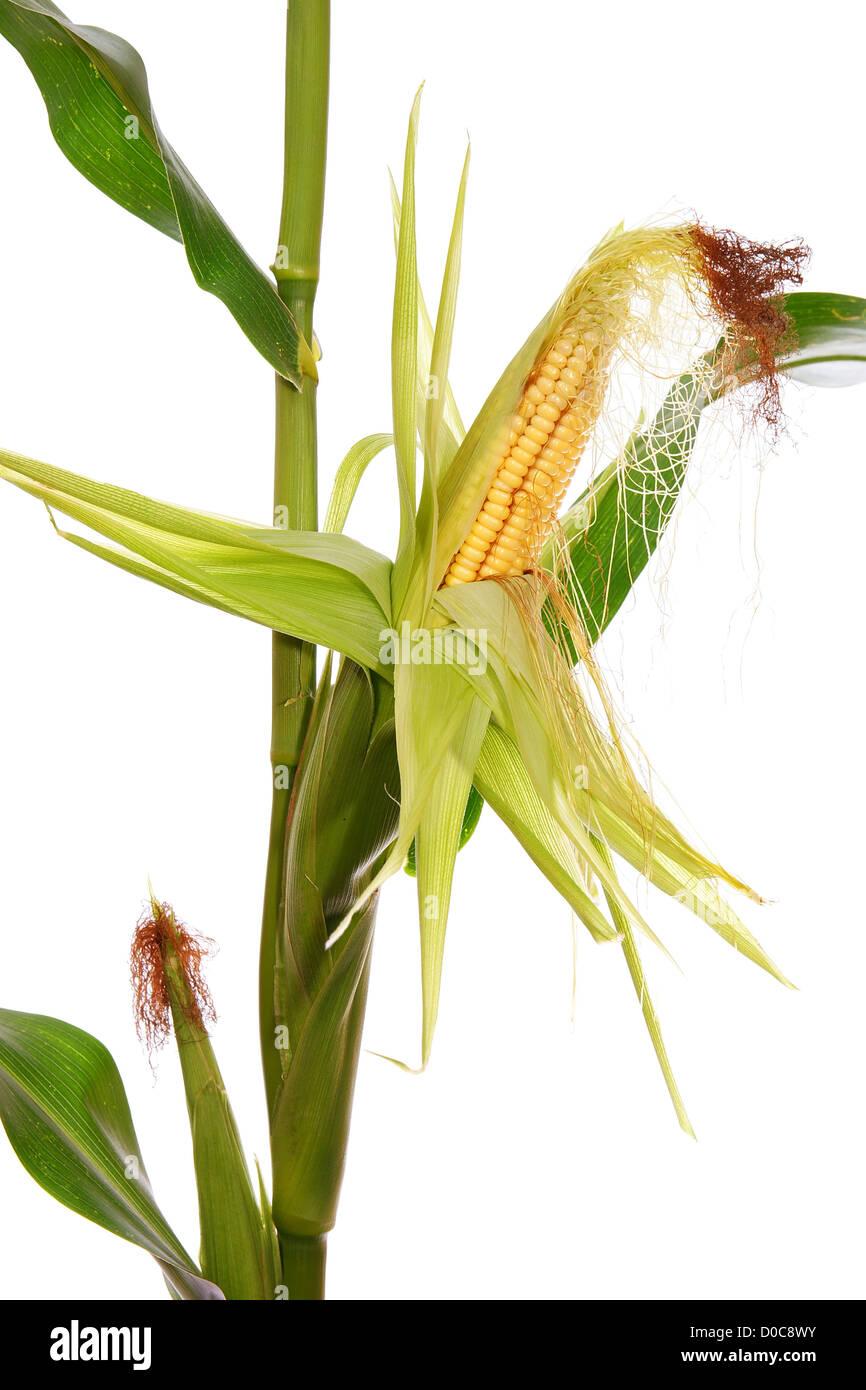 Le maïs jaune sur tige sur fond blanc Photo Stock