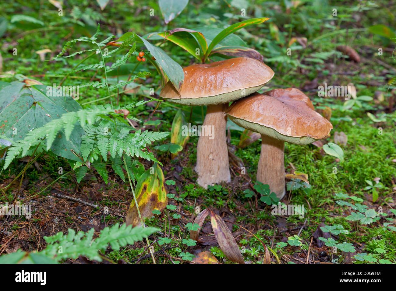 Champignons des bois dans l'herbe Photo Stock