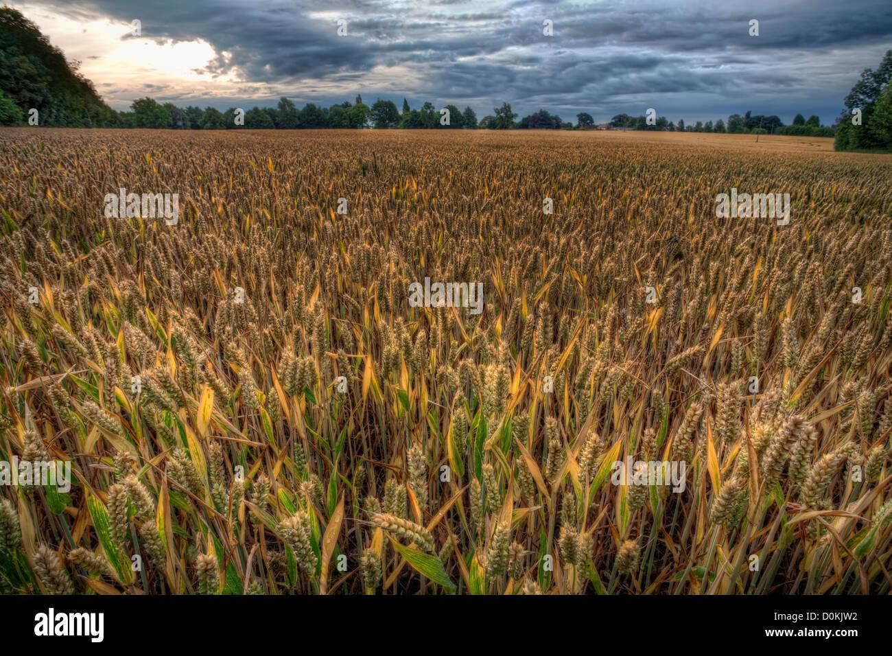 Un champ de blé mûrit juste avant la récolte. Photo Stock