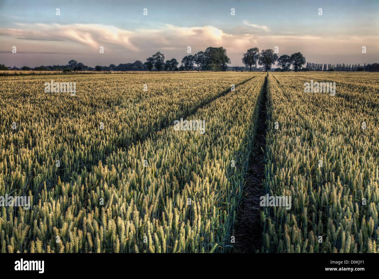 Chemin à travers un champ de blé mûrit juste avant la récolte. Photo Stock