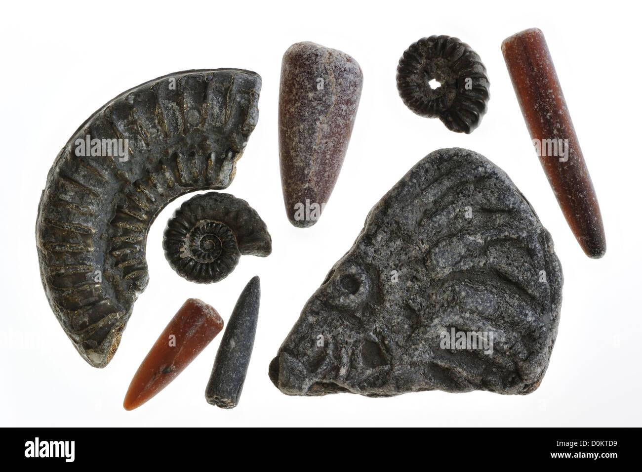 Collection de fossiles combustibles comme gardes de bélemnites et ammonites de Lyme Regis, sur la côte Photo Stock