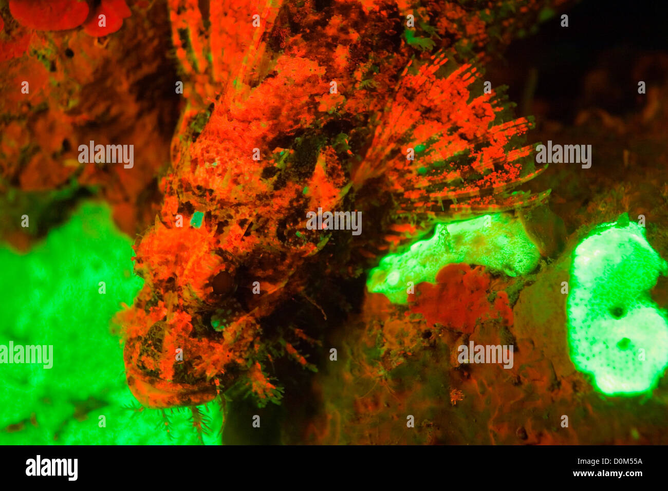 Les coraux fluorescents et rascasses Banque D'Images