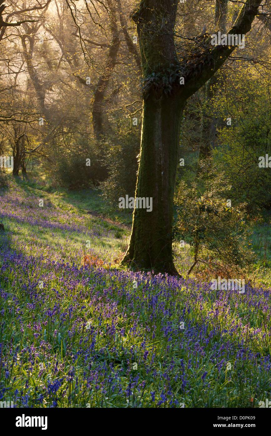 Bluebell Woods, Dorset, England, UK Photo Stock