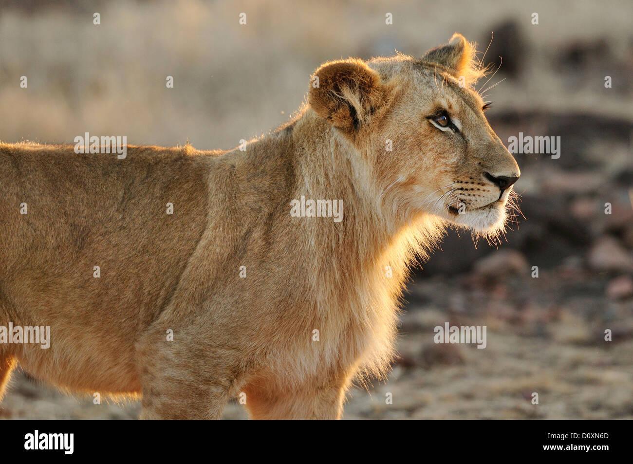 L'Afrique, le Zimbabwe, les chutes Victoria, le lion, le lion, animal Photo Stock