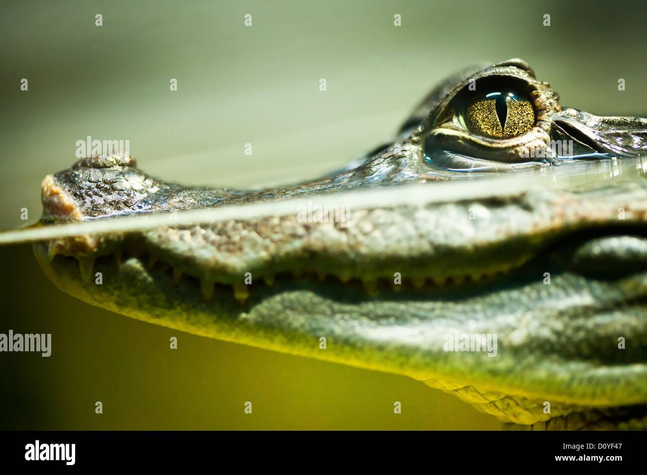 Caiman crocodilus Banque D'Images