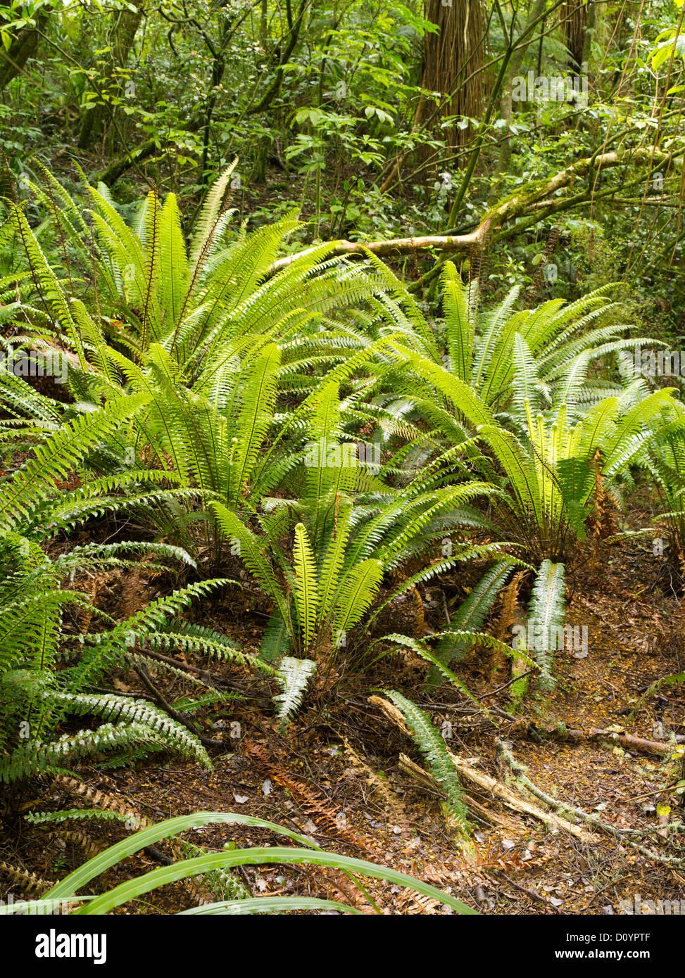 Fougères poussant dans la forêt tropicale, la réserve forestière de Catlins, île du Sud, Nouvelle-Zélande; près de purakaunui falls. Banque D'Images