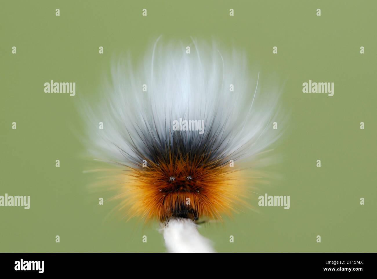 Jardin Tiger Moth (Arctia caja) caterpillar montrant de faux yeux et visage défensif Photo Stock