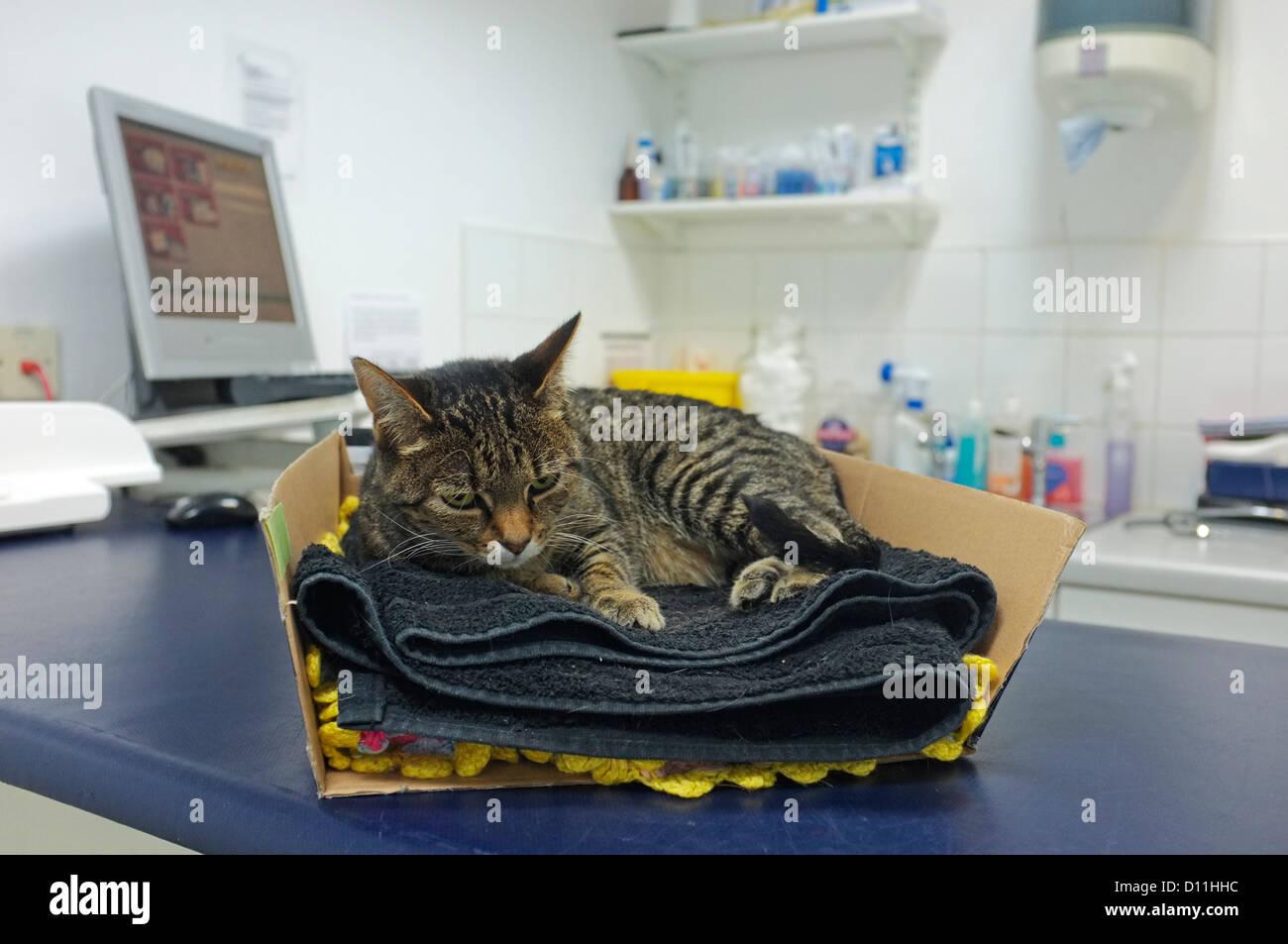 Un chat blessé juste apporté dans la chirurgie vétérinaire. Photo Stock