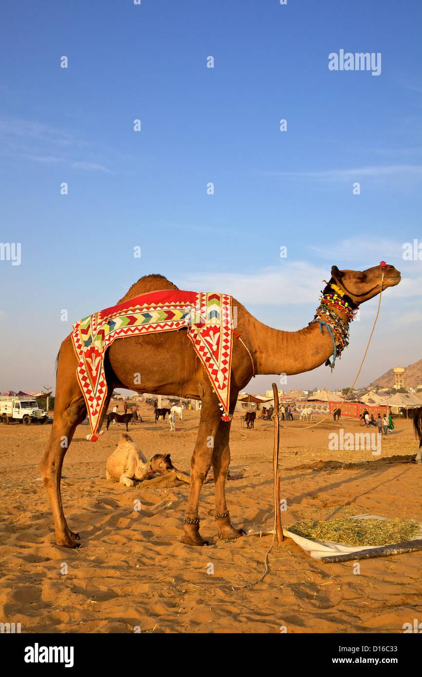 Un chameau au Pushkar foire annuelle au Rajasthan, Inde Banque D'Images