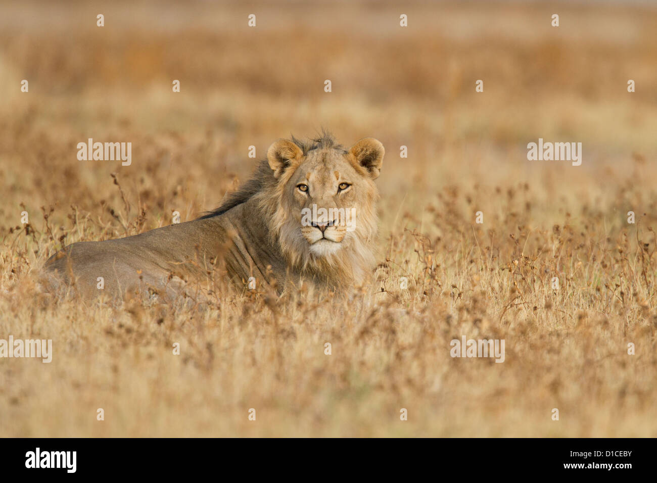 Young male lion dans le parc national d'Etosha en Namibie Photo Stock