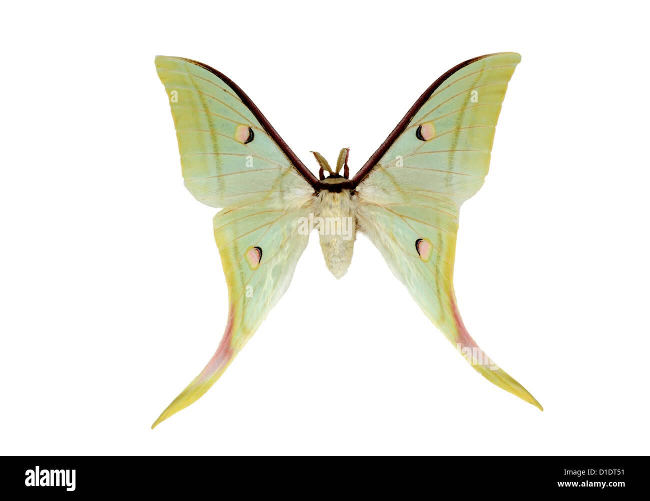 Papillon de lune indienne ou indien Luna Moth, Actias selene, Saturniidae. Au Japon, l'Inde et l'Asie du sud de Banque D'Images