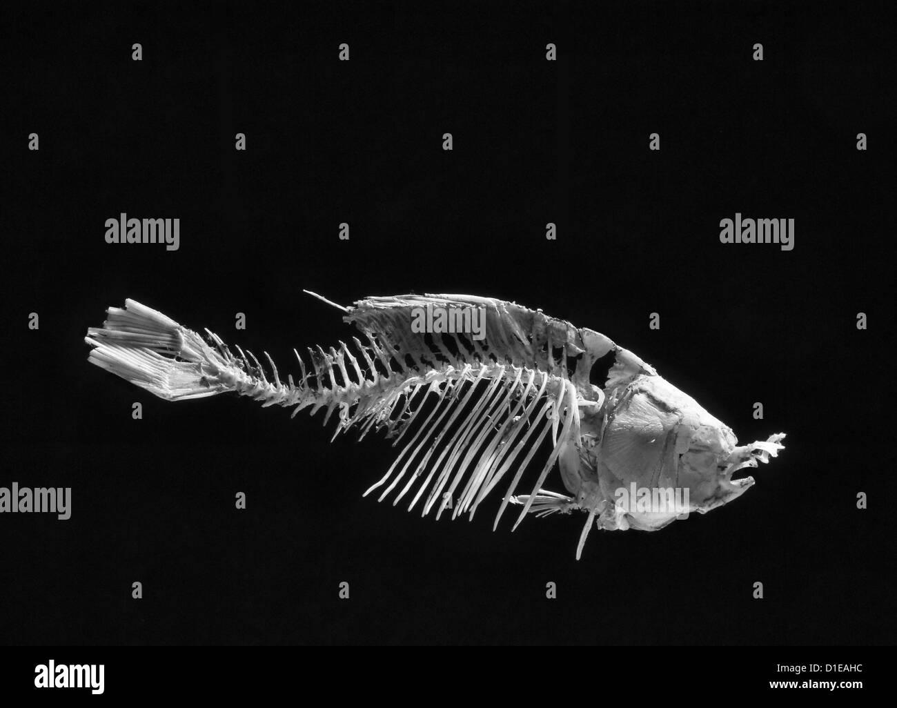 Un poisson squelette, b/w sur un fond noir Photo Stock