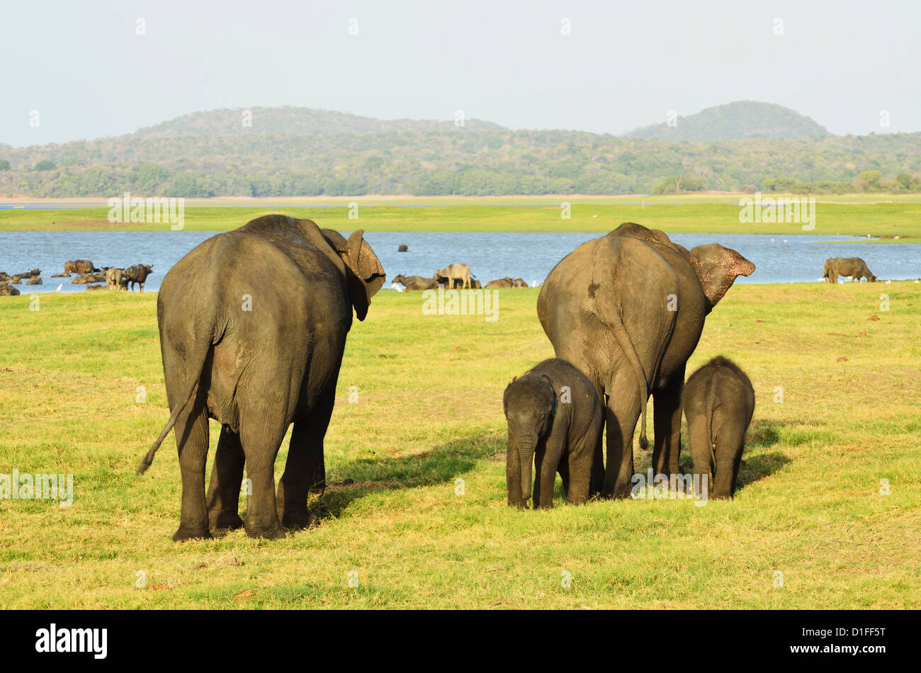 L'éléphant du Sri Lanka (Elephas maximus maximus), le Parc National de Minneriya, Sri Lanka, Asie Photo Stock