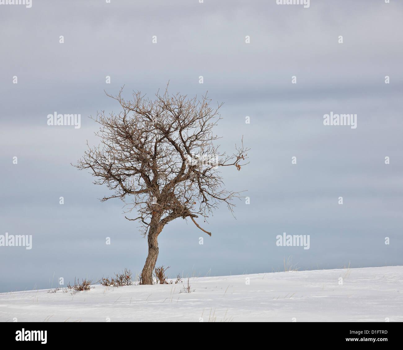 Arbre nu dans la neige, l'Uncompahgre National Forest, Colorado, États-Unis d'Amérique, Amérique Photo Stock