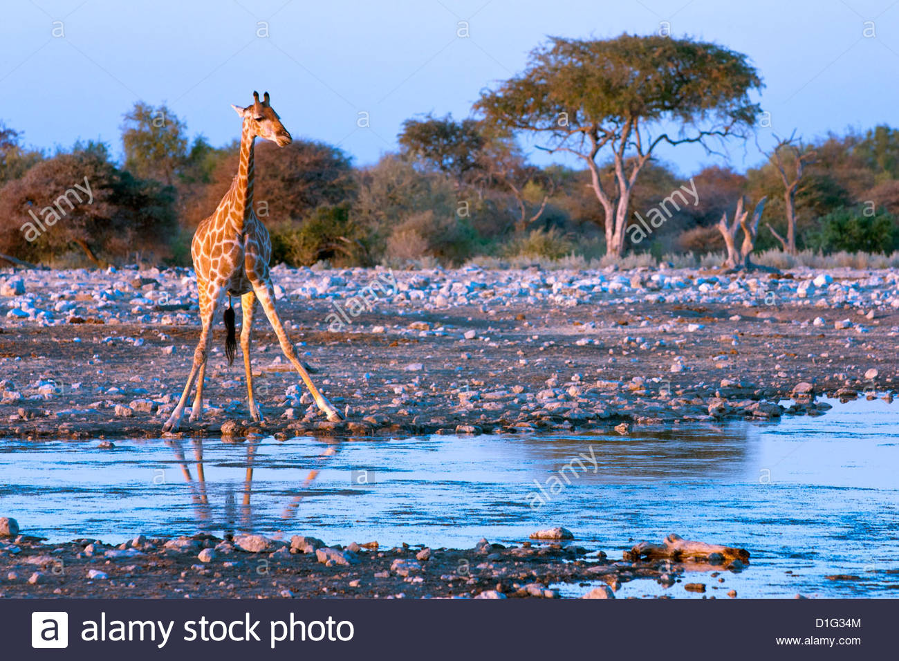 Girafe (Giraffa camelopardis), Namibie, Afrique Photo Stock