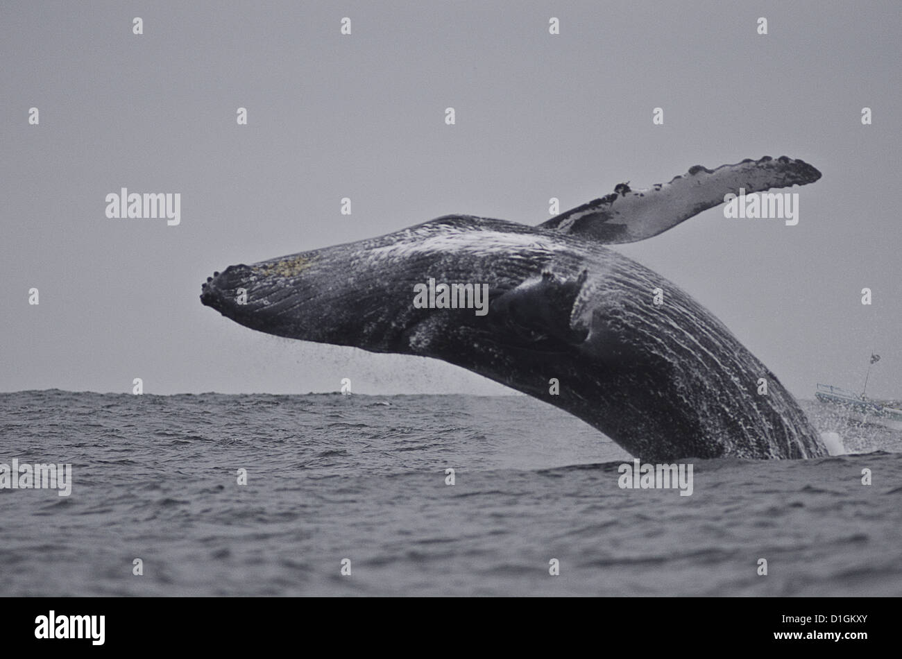 Violation de baleine à bosse (Megaptera novaeangliae), Equateur, Amérique du Sud Photo Stock