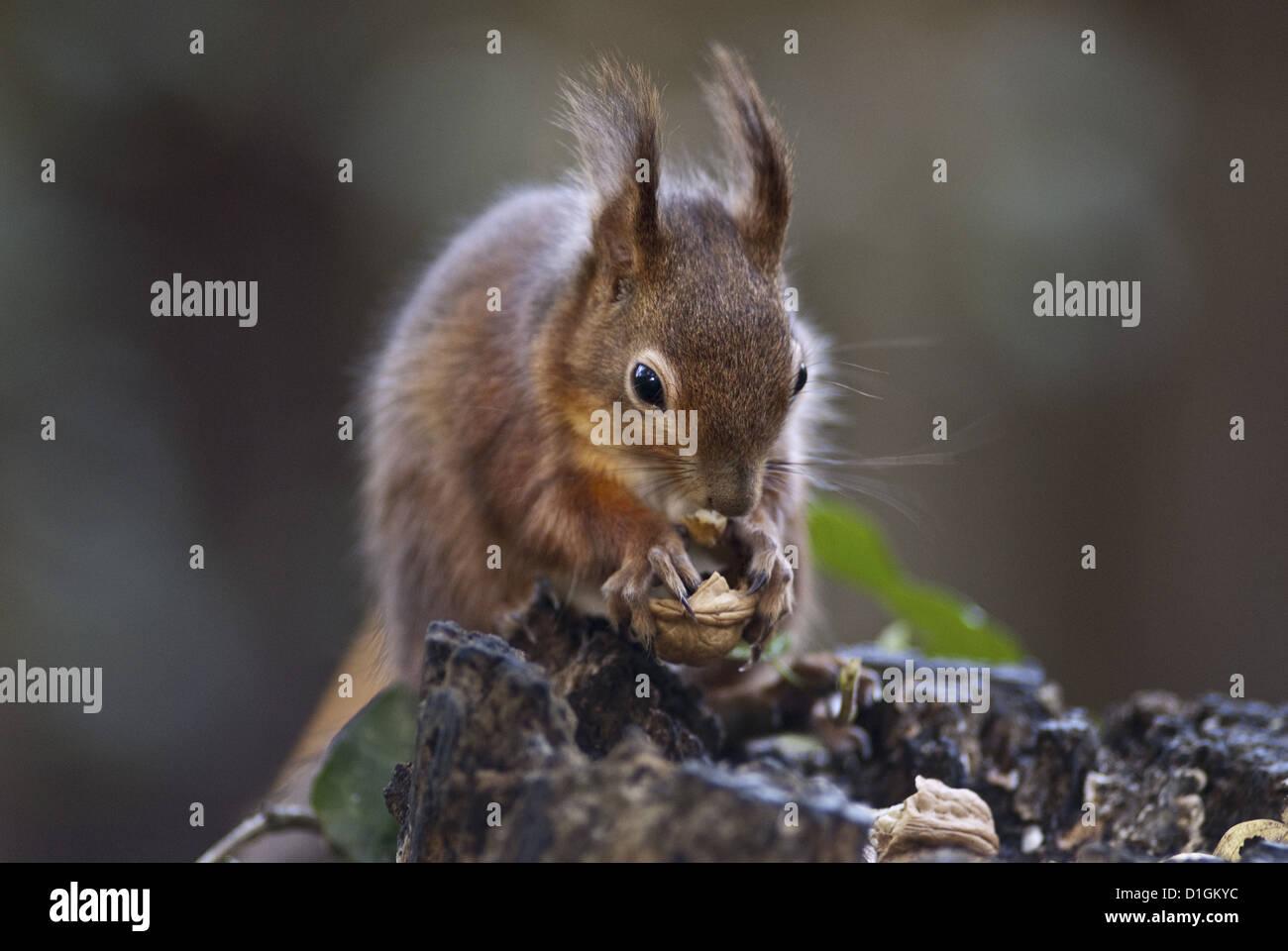 L'écureuil roux (Sciurus vulgaris) la consommation de noix dans un bois, Royaume-Uni, Europe Photo Stock