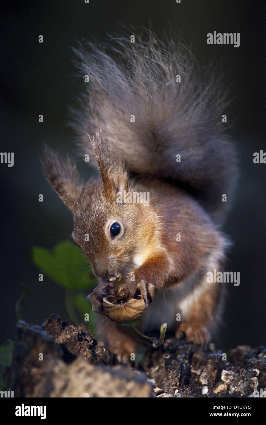 L'écureuil roux (Sciurus vulgaris) la consommation de noix dans un bois, Royaume-Uni, Europe Banque D'Images