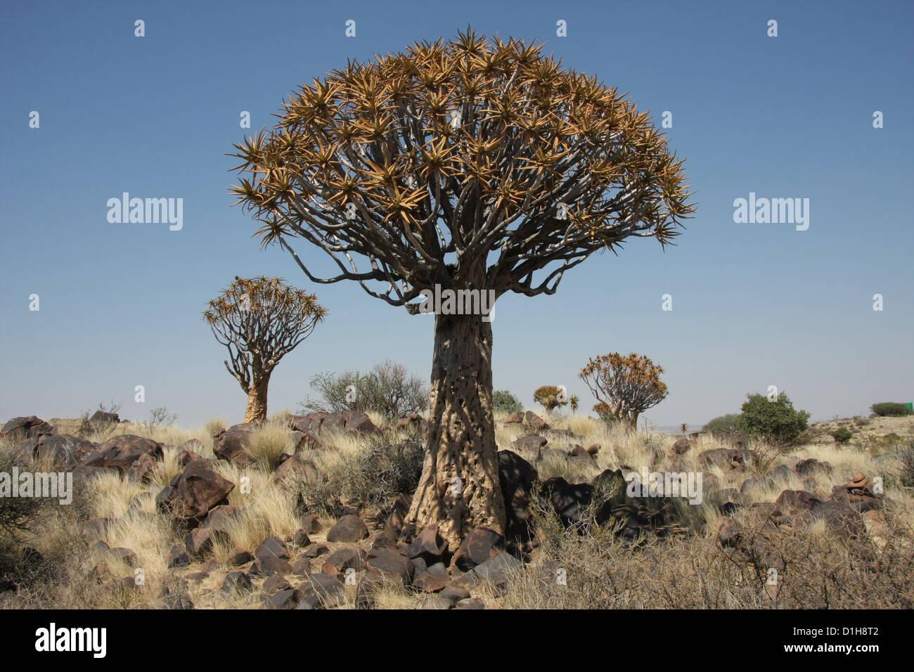 Arbres carquois (Aloe Dichotoma), Keetmanshoop, Namibie Photo Stock