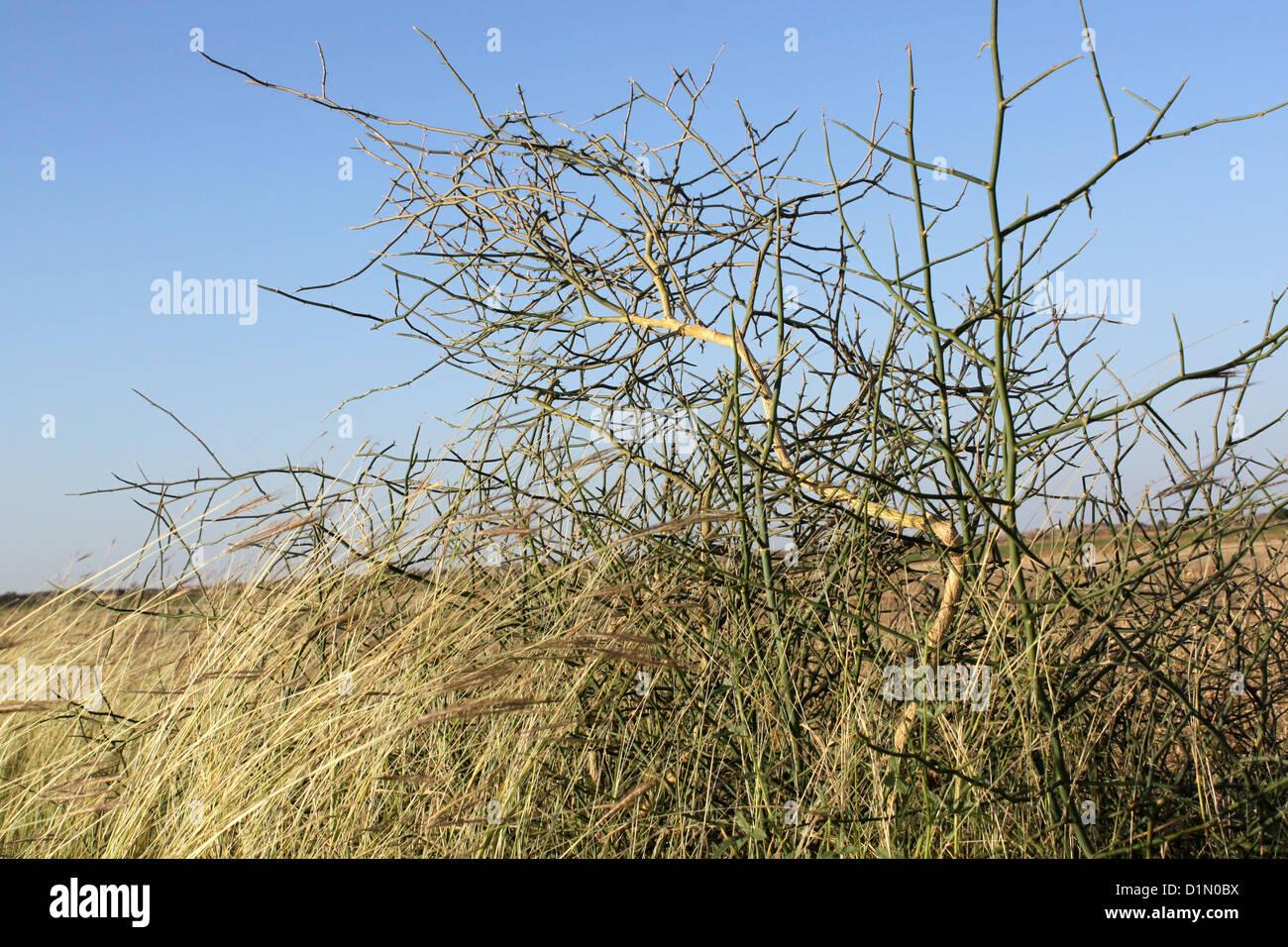 Bush épineux du désert Photo Stock