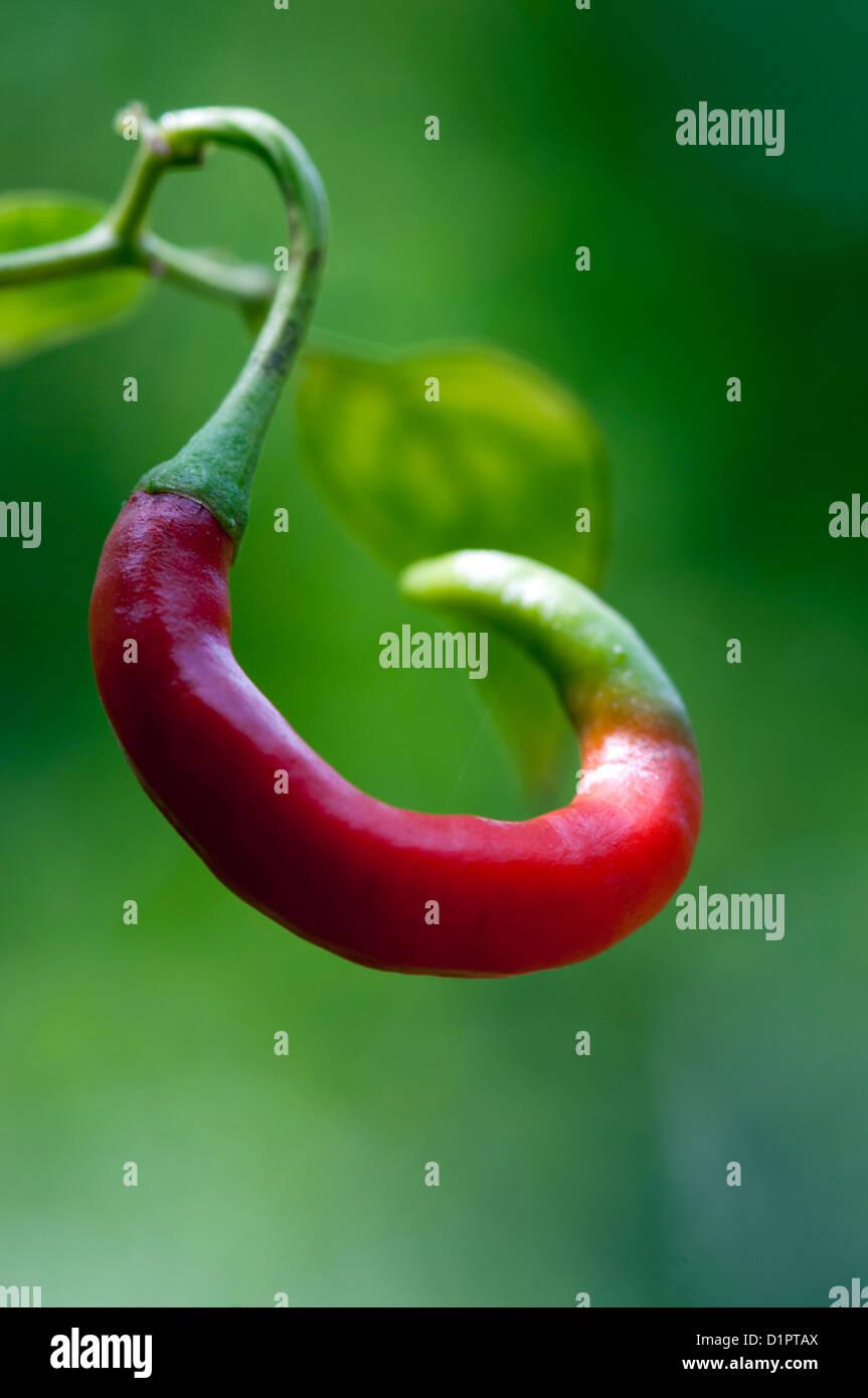 Close up of red chili plante croissant sur les Photo Stock