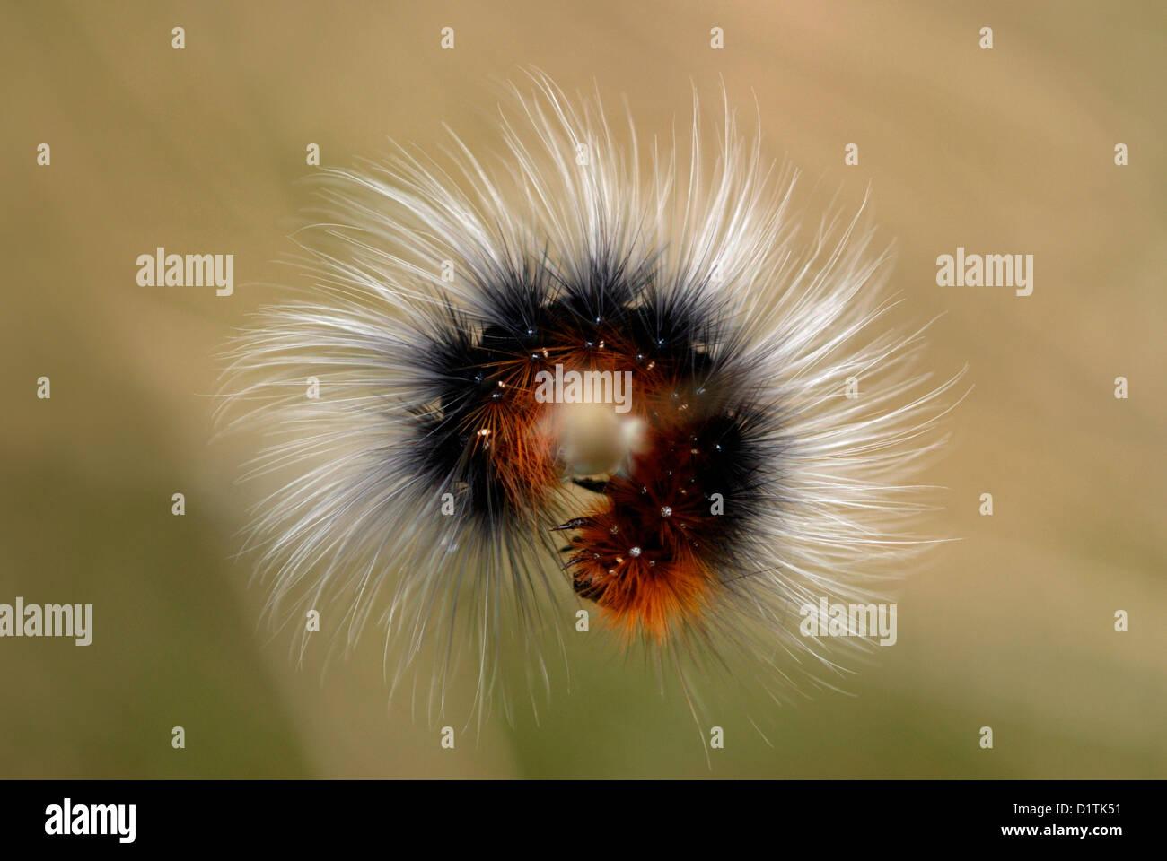 Jardin Tiger Moth caterpillar (Arctia caja) sur la péninsule de Gower Photo Stock