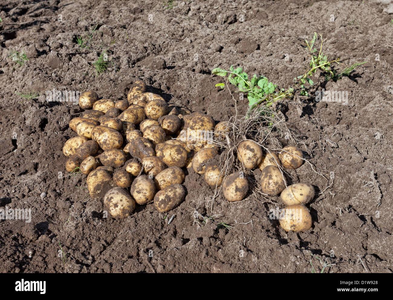 La récolte des pommes de terre de culture biologique Photo Stock
