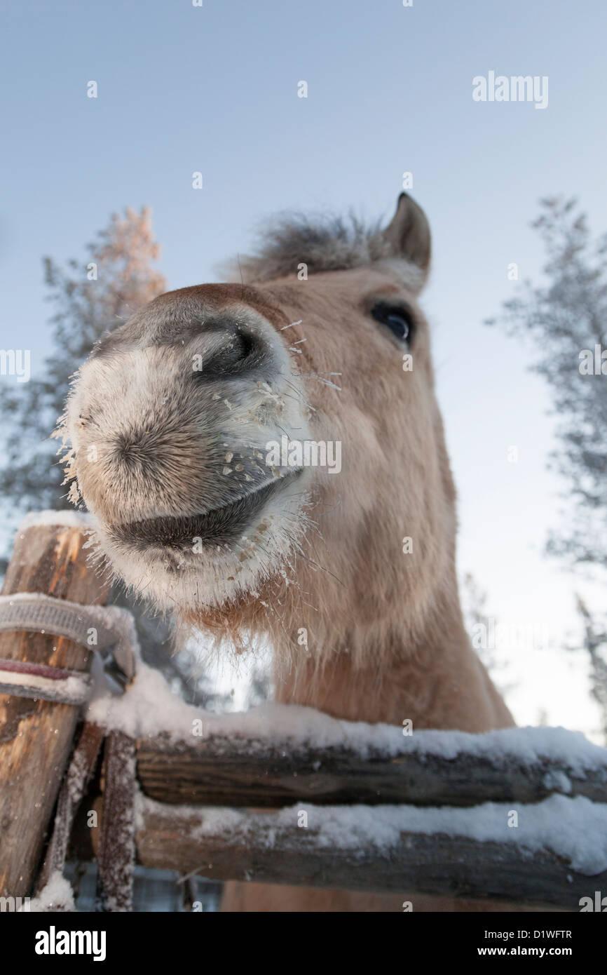 Smiling horse en Laponie, Finlande Banque D'Images