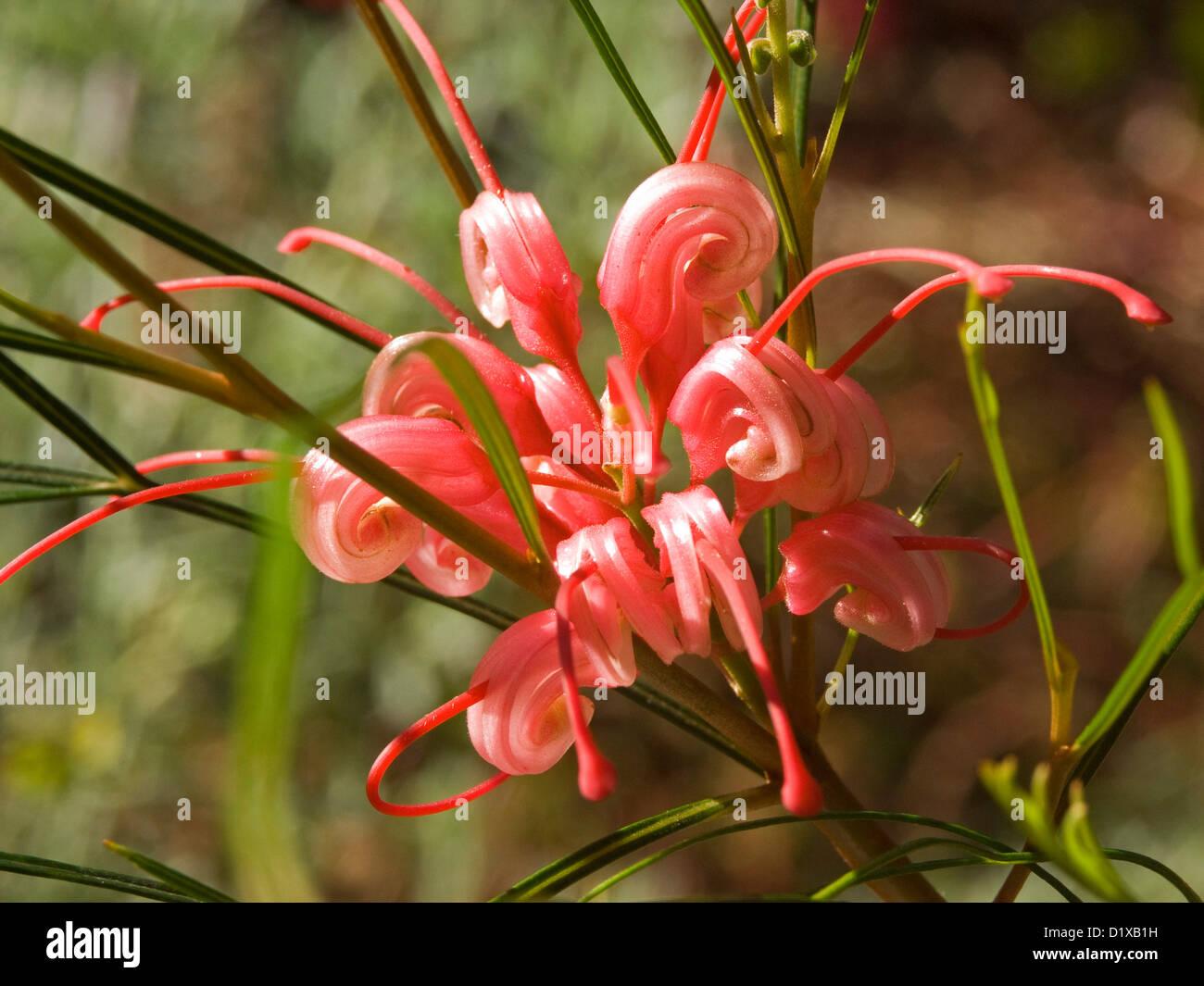 Rose Fleur Rouge De Grevillea Cultivar Elegance Une Plante