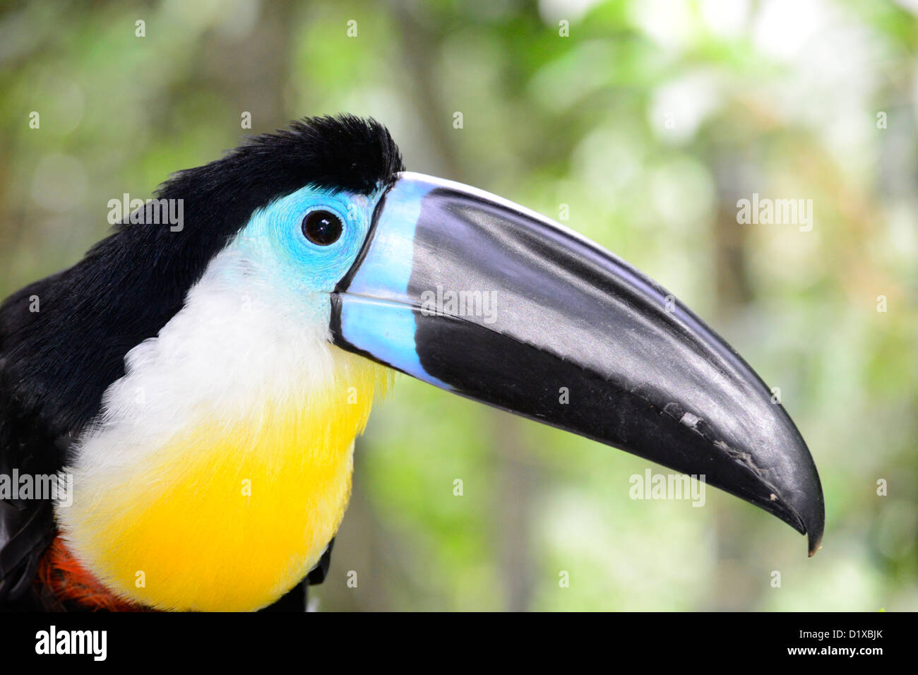 Portrait de toucan dans Birds of Eden près de Plettenberg Bay, Garden Route, Afrique du Sud. Photo Stock