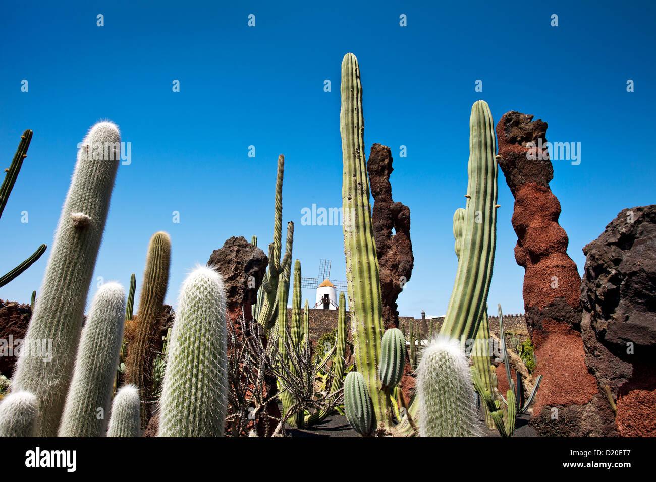 Moulin à vent et les cactus, jardin botanique Jardin de cactus, architecte Cesar Manrique, Guatiza, Lanzarote, Canaries, Banque D'Images