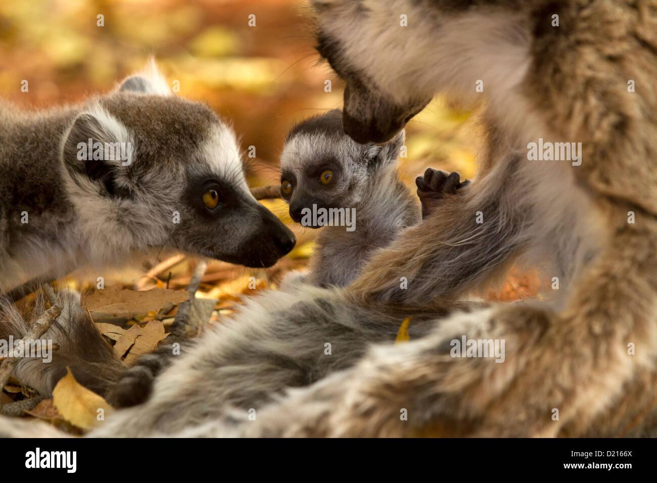 Bague bébé-queue, Lemur Lemur catta et sa famille Photo Stock