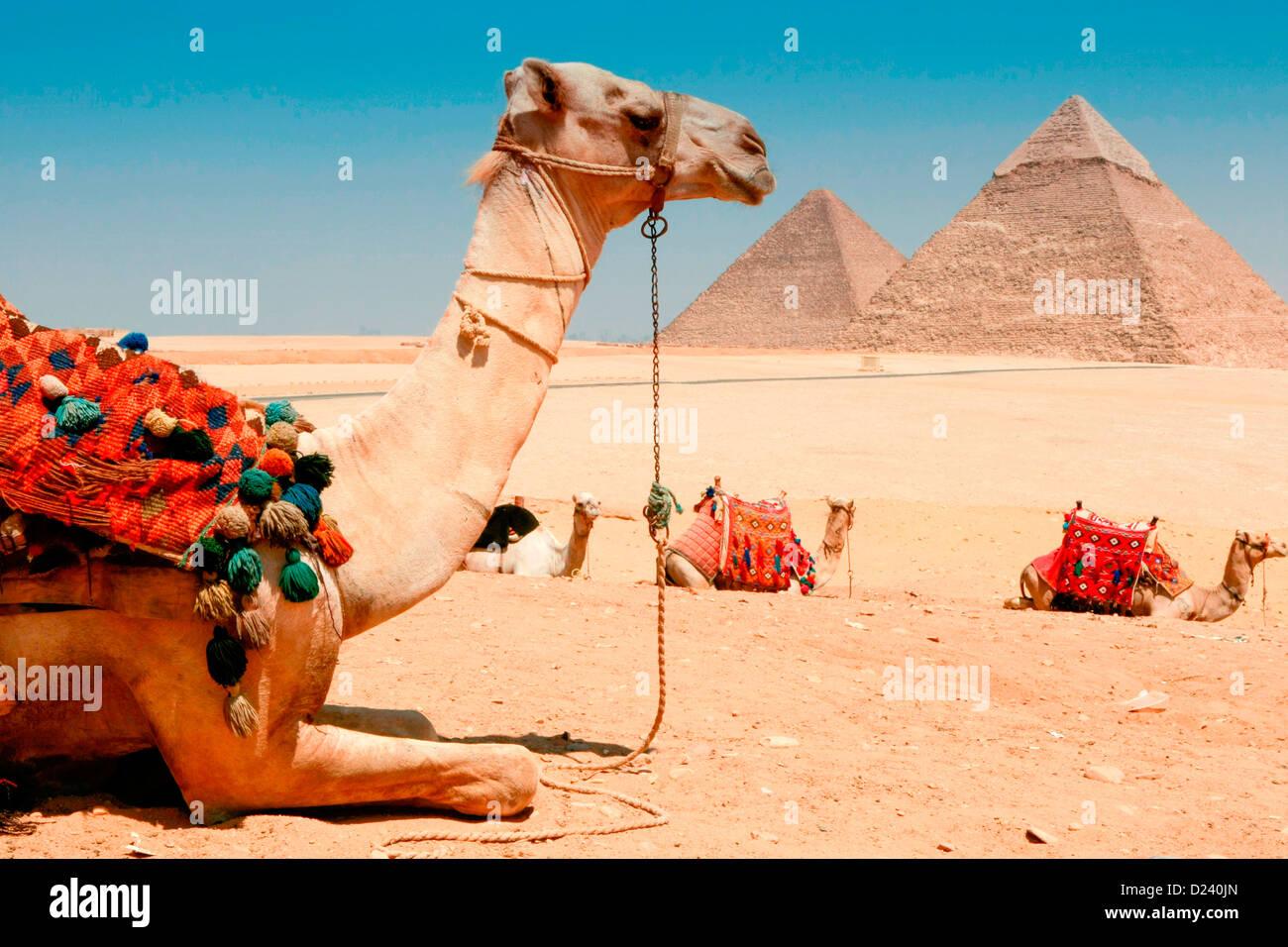 Des chameaux à les pyramides de Gizeh, près du Caire, Égypte. Banque D'Images