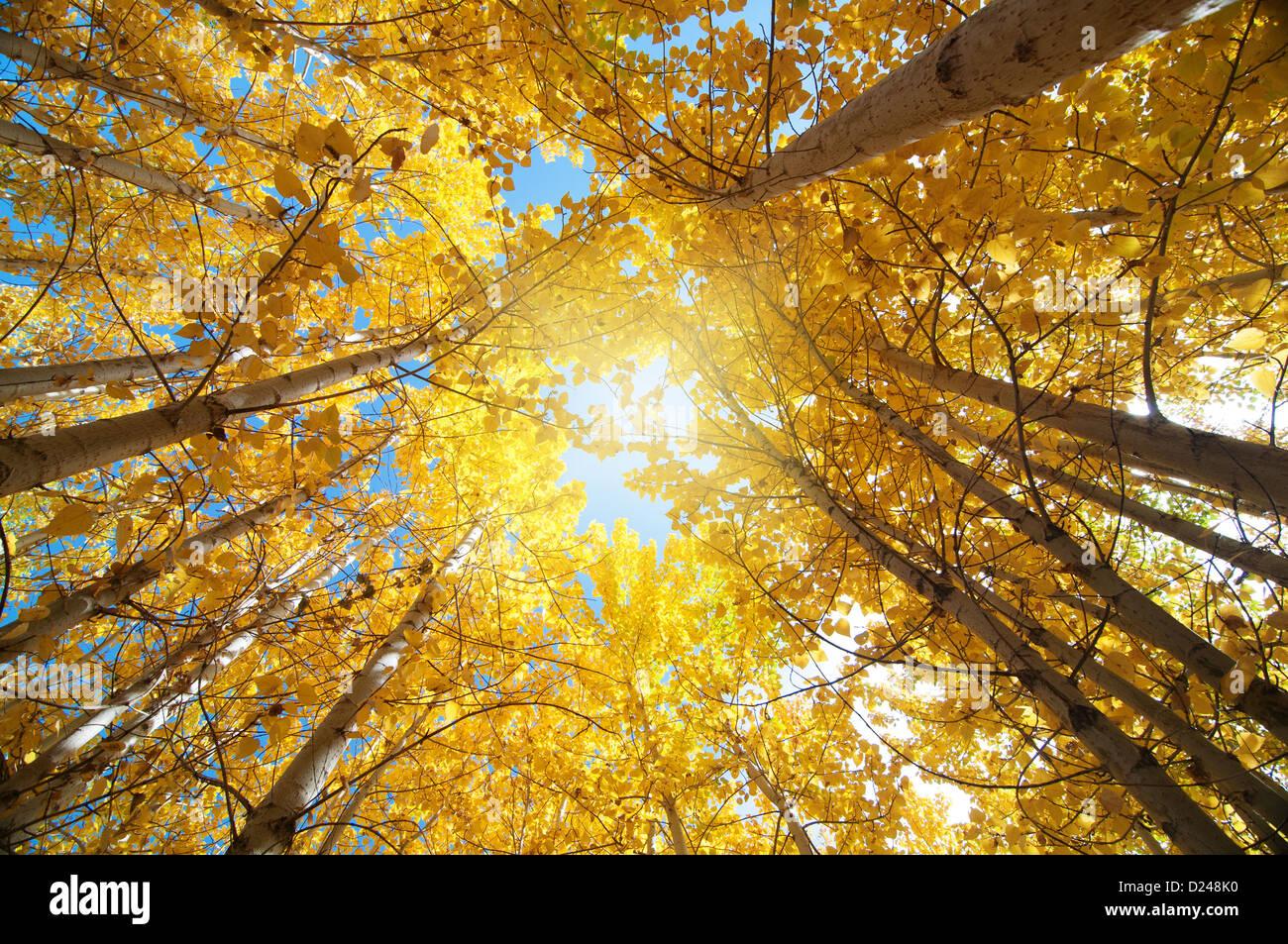 Vue vers le haut des peupliers de l'automne , Leh dans le district de l'état de Jammu-et-Cachemire, Photo Stock
