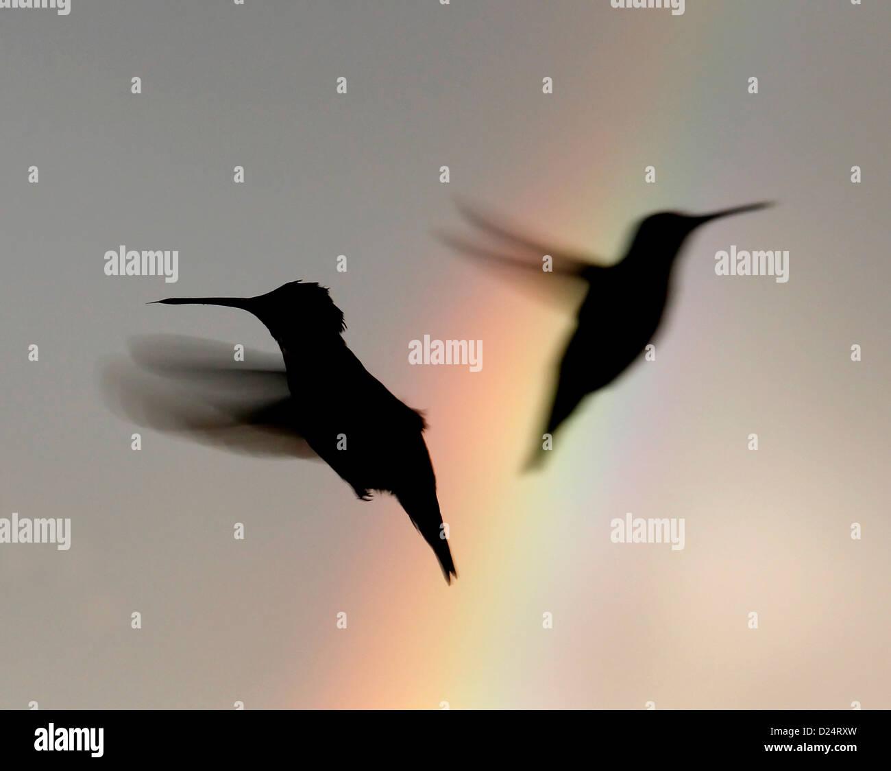 Colibri à gorge rubis d'oiseaux arc-en-cours de vol dans l'Ohio Photo Stock