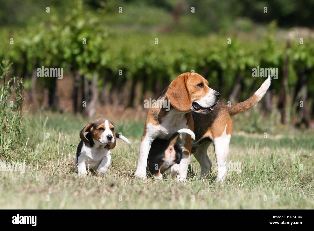 Chien beagle chiots et adultes dans un pr banque d 39 images - Chien beagle adulte ...