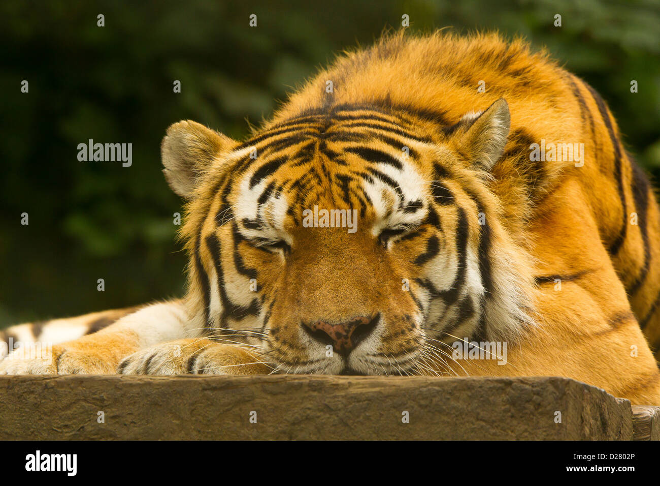 big cat sleeping photos big cat sleeping images alamy. Black Bedroom Furniture Sets. Home Design Ideas