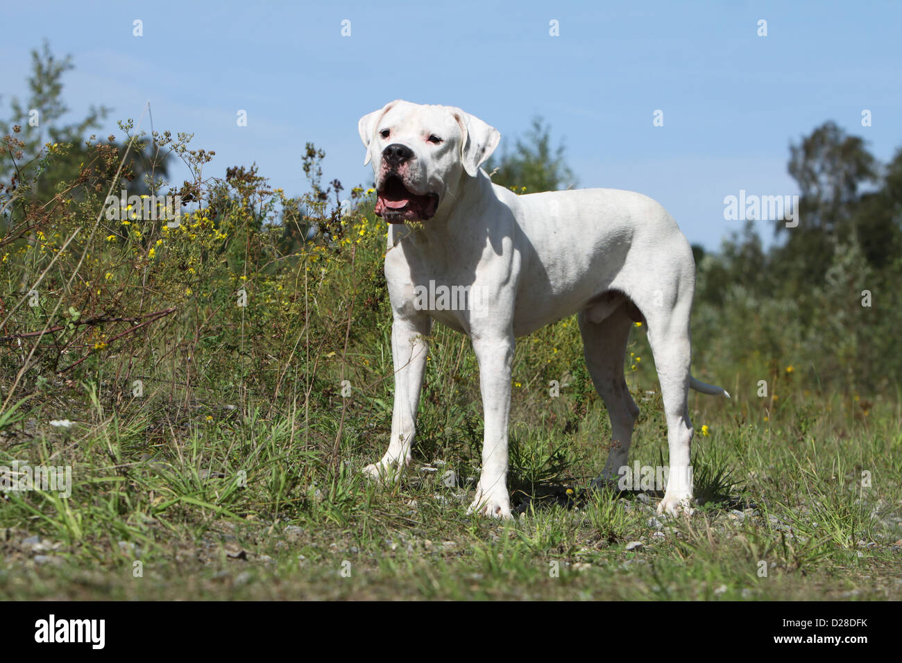 Chien Dogo Argentino / Dogue Argentin (oreilles naturelles) des profils dans un pré Banque D'Images
