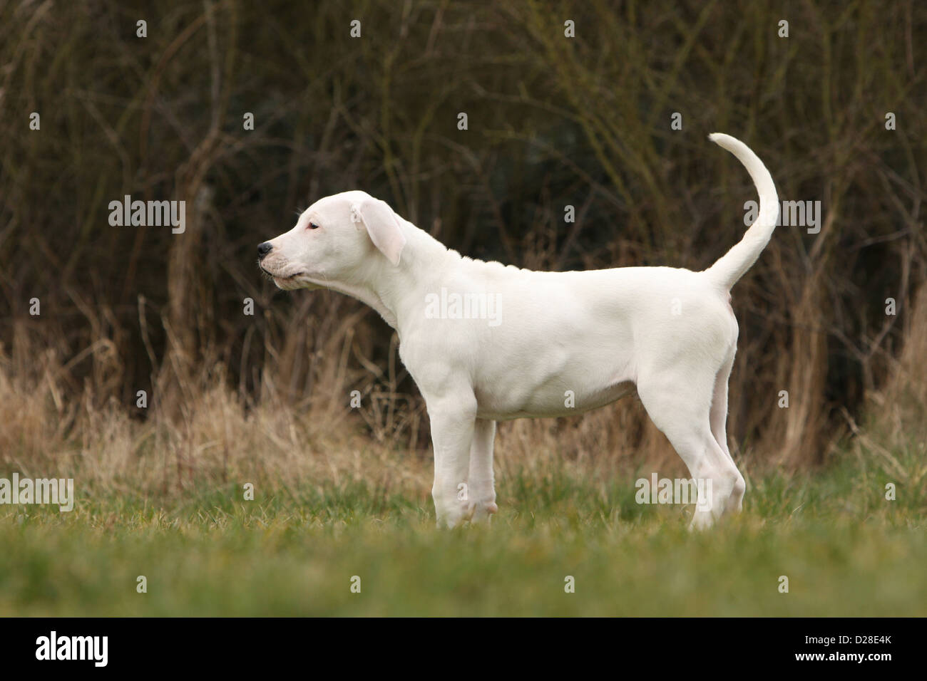 Chien Dogo Argentino / Dogue Argentin (oreilles naturelles) puppy profil permanent Photo Stock
