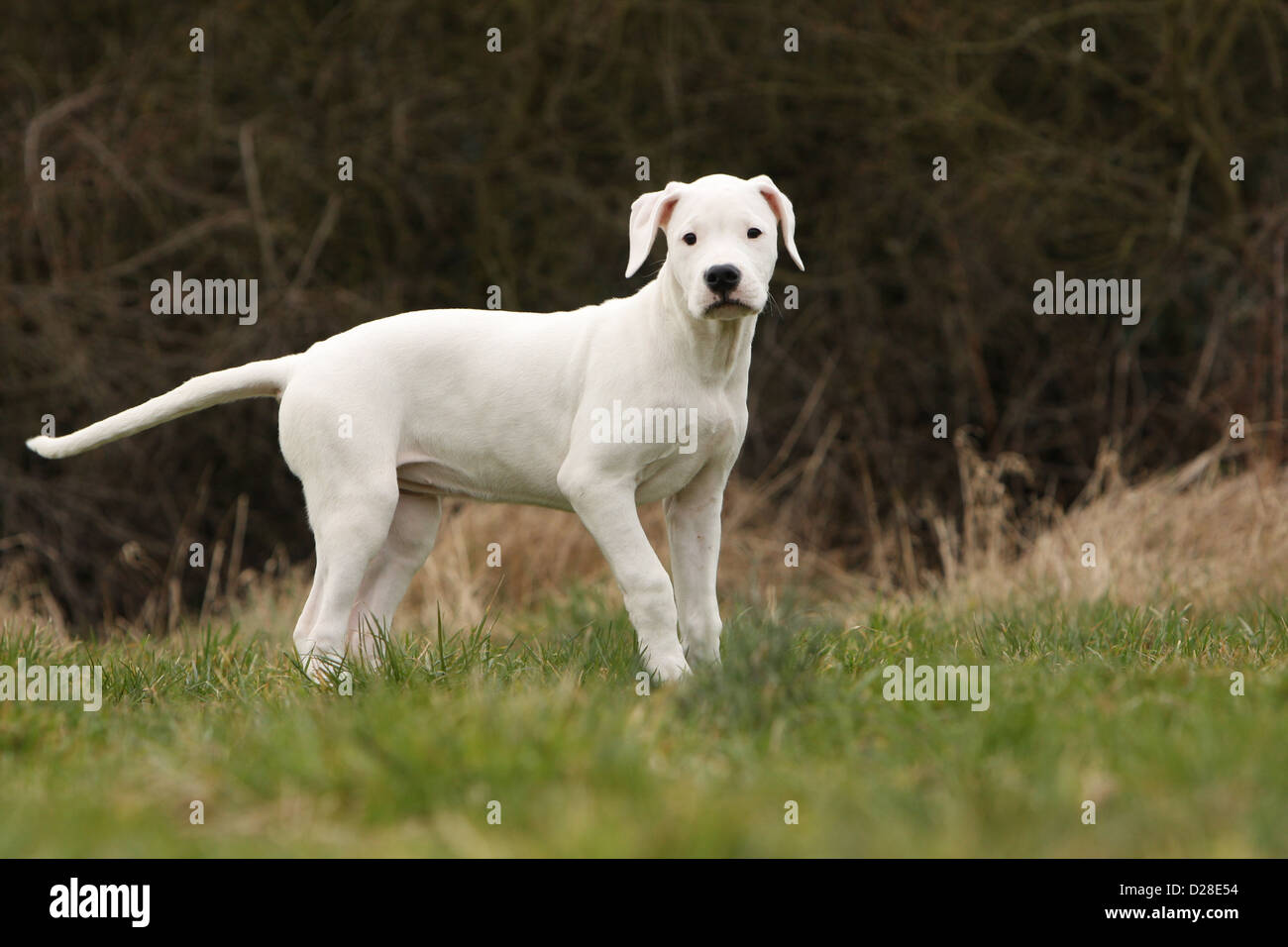 Chien Dogo Argentino / Dogue Argentin (oreilles naturelles) puppy standing Photo Stock