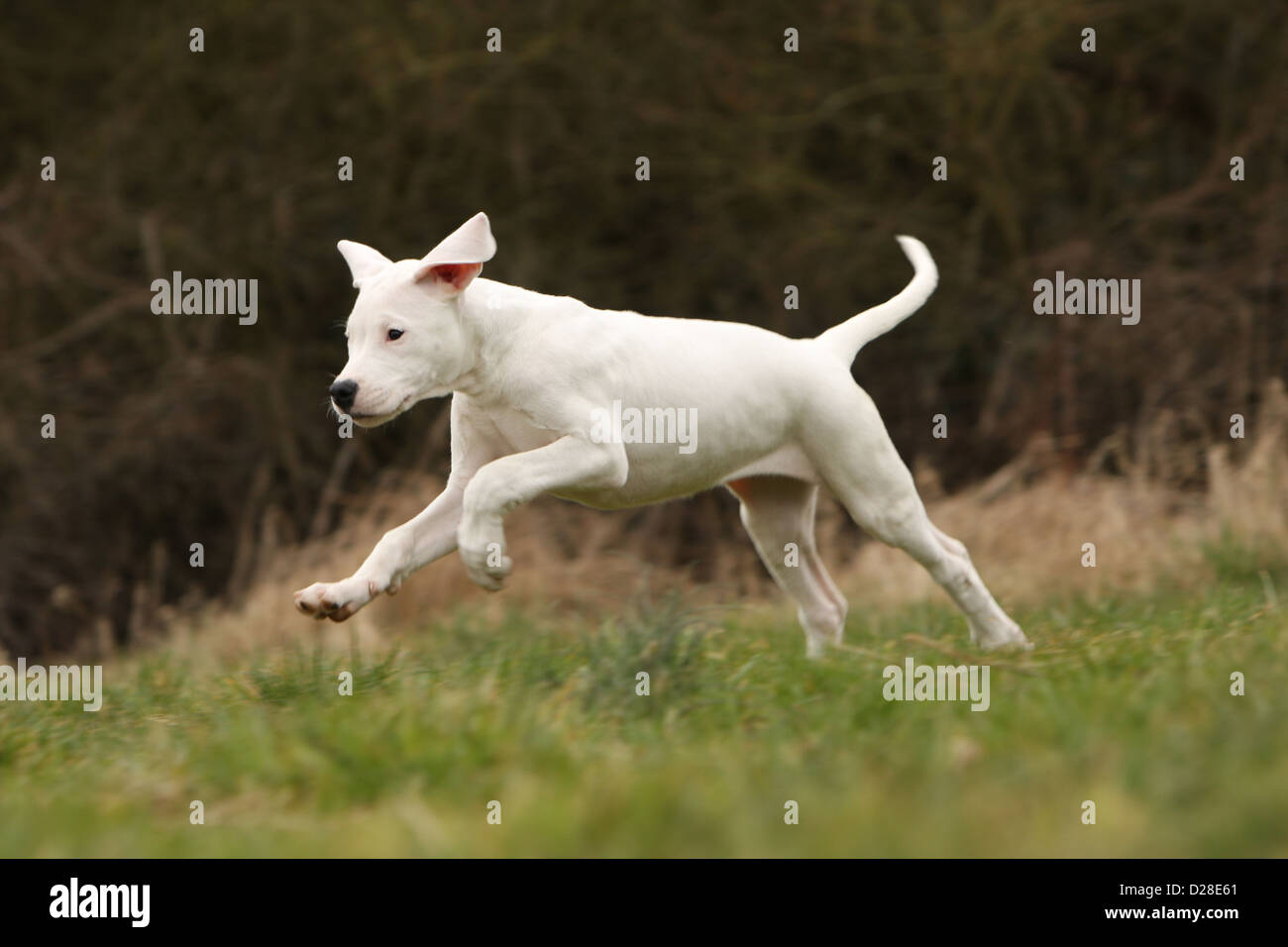 Chien Dogo Argentino / Dogue Argentin (oreilles naturelles) puppy running Photo Stock
