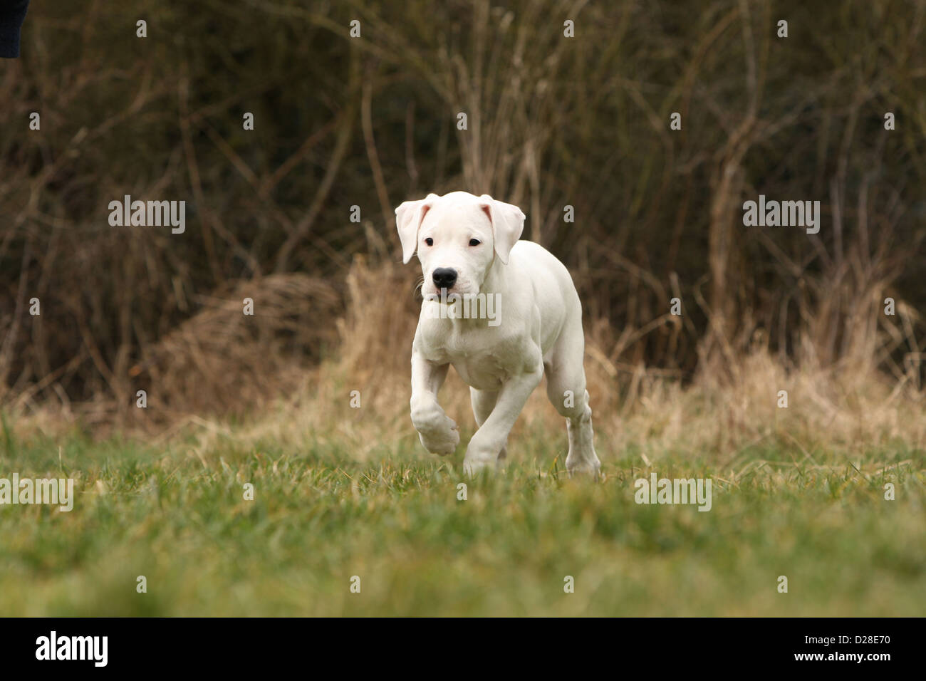 Chien Dogo Argentino / Dogue Argentin (oreilles naturelles) puppy waling Photo Stock