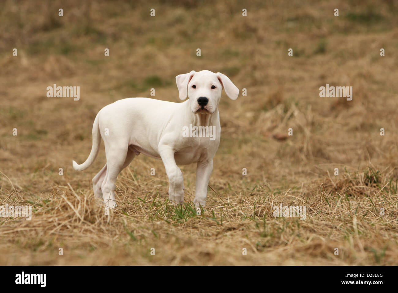Chien Dogo Argentino / Dogue Argentin (oreilles naturelles) puppy standing paw soulevées Photo Stock